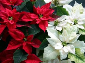 Market Haul: Poinsettias